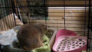 ふとん運び、ふとん運び! プレーリードッグのプルプルが忙しく巣作り。