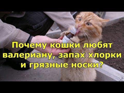 Почему кошки любят валериану, запах хлорки и грязные носки?
