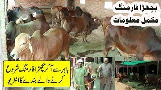 Sahiwal Bachra Farming in Pakistan   Calf Farming in Urdu   How to Start Calf Farming   Farming Tips