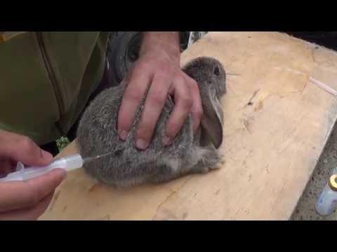 Как сделать укол кролику внутримышечно видео