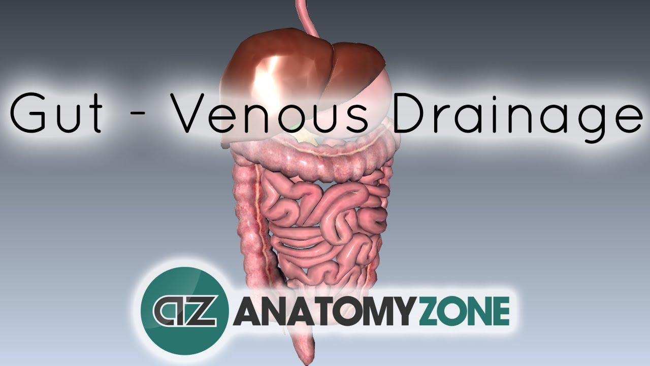 Blood Supply To The Gut Introduction Part 2 Venous Drainage
