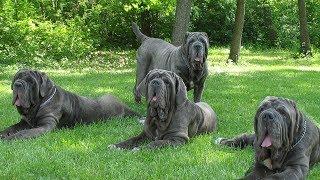 Những Giống Chó Nguy Hiểm Nhất Thế Giới, Bạn Sẽ Không Bao Giờ Muốn Đối Mặt Với Chúng