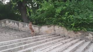 Border Police Dog Climbs Up Stairs on Two Legs - 1049487-1 thumbnail