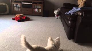 Westie Chase