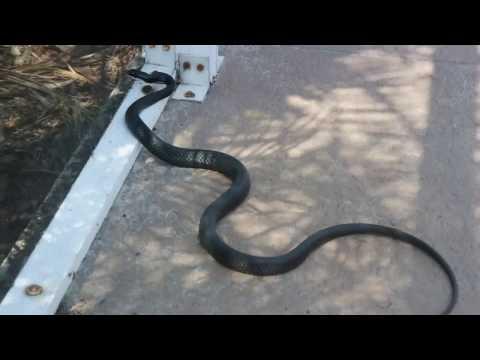 PISSED OFF black racer snake