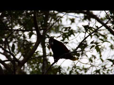 Montezuma Oropendola Bird, Costa Rica