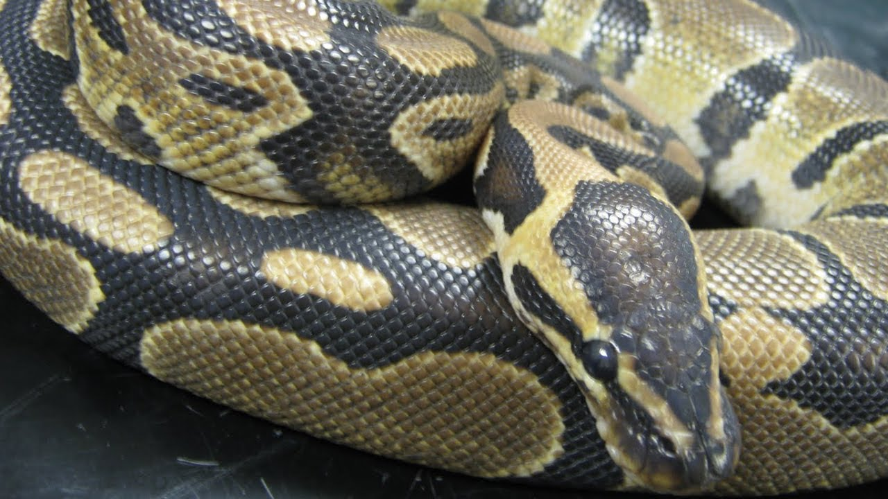 Python got out of the pet store and strangled two boys
