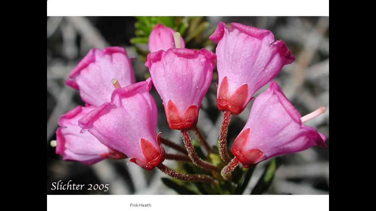 Pink Heath Flowers Youtube