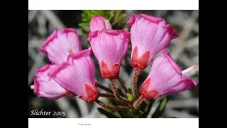 Pink Heath flowers