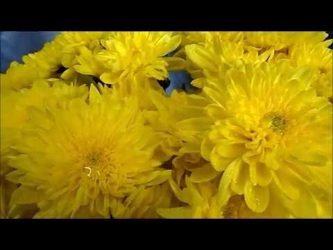 Хризантема кустовая Зембла. Продажа. Новоуральск