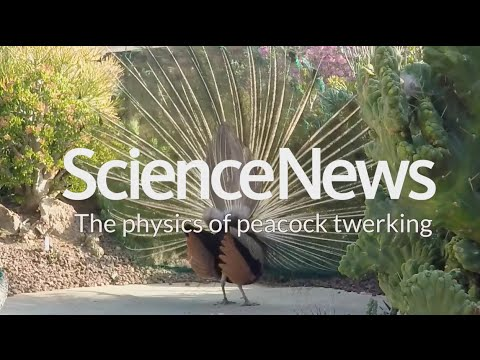 The physics of peacock twerking | Science News