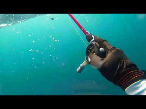 泳ぎ釣りキジハタがザリガニ捕食