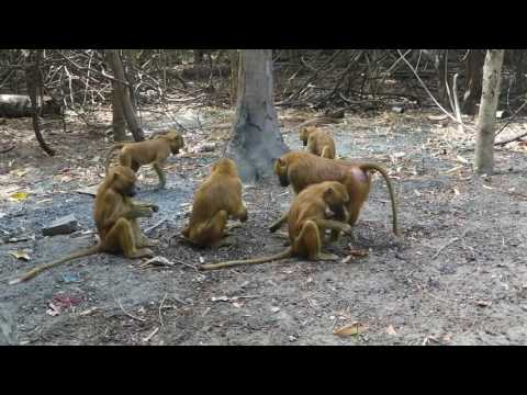 The monkeys of Gambia, December 2016