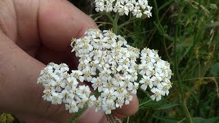 Тысячелистник. Achillea millefolium. Milfoil