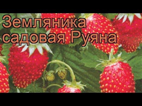Земляника садовая Руяна (fragaria ananassa ruiana) 🌿 обзор: как сажать, рассада земляники Руяна