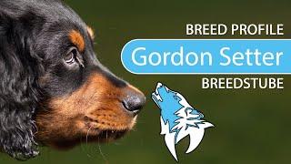Gordon Setter Breed, Temperament & Training