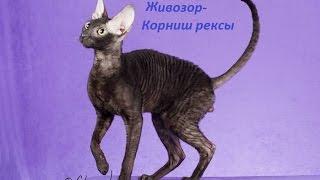 ЖИВОЗОР  кошек породы Корниш рекс