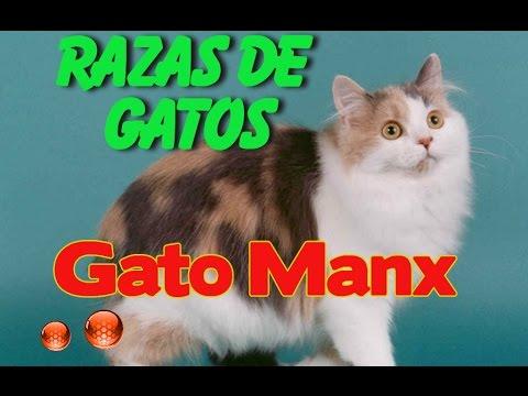Gato Manx Caracteristicas - Caracterisitcas de las razas de gatos