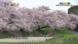 埼玉県志木市の桜の名所と原木が世界にただ一本残る「チョウショウイン...