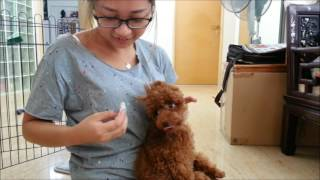 Dogs Training Singapore - Coco 4 months old poodle