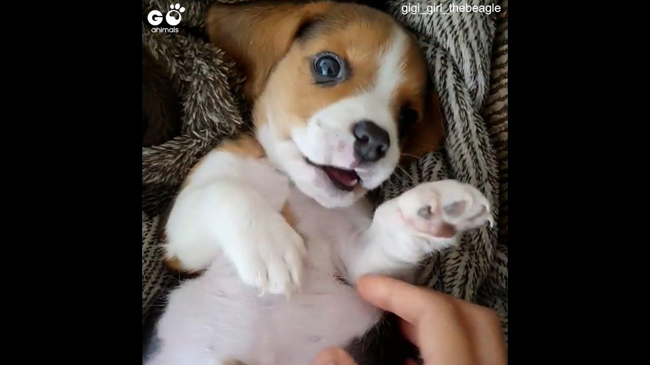 Beagle Puppy Loves Tickles   Newborn Beagle Gets Belly Rubs   Go Animals