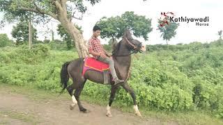 SHIVO HORSE VADAL kudva valo ghodo || kathiyawadi Horse || કૂદવા વાળો ઘોડો શિવો