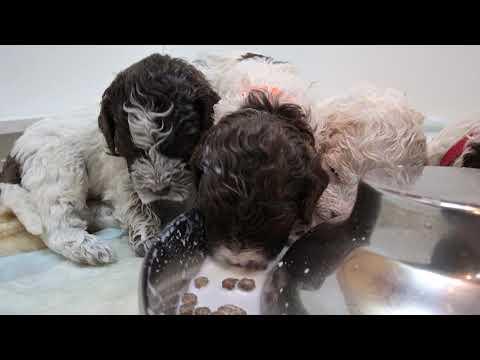 Lagotto Puppies Dive into milk!