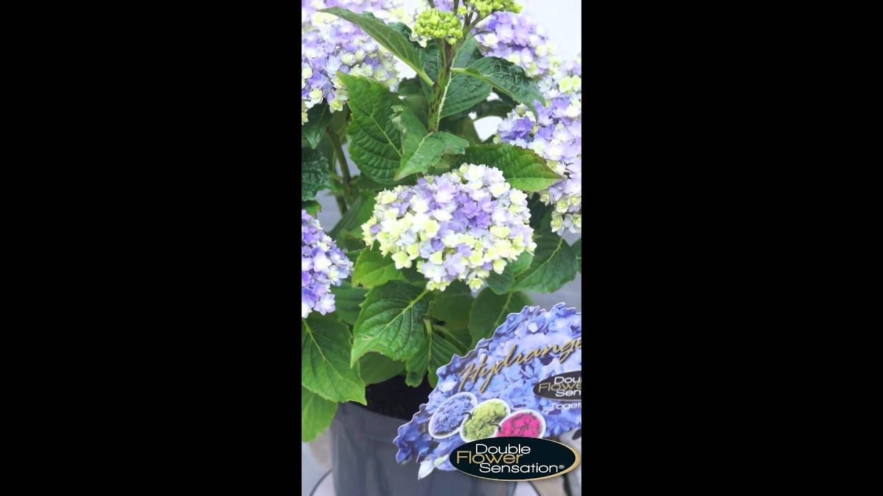 Hydrangea Double Flower Sensation Together Blue Youtube
