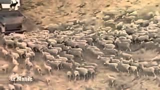 Australie   un troupeau de moutons patriotique