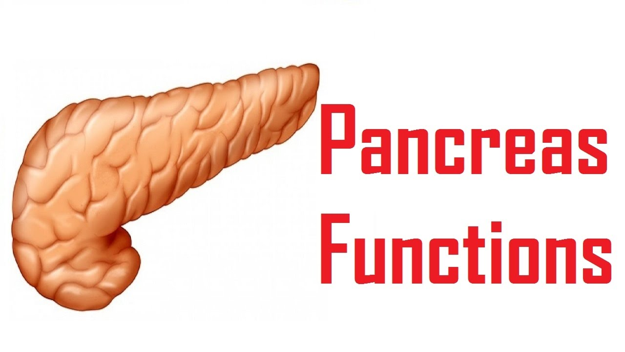 Pancreas Functions In Human Body Youtube