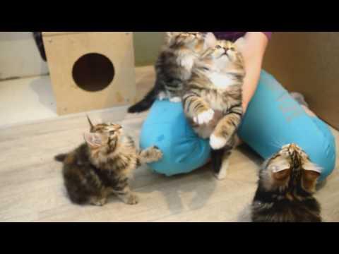 Сибирские котята 2 мес. Питомник Spark Heart