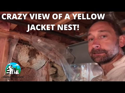 A great view of a Yellow Jacket nest built inside of a wall.