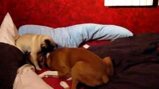 Pug And Boxer