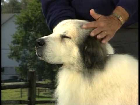 Great Pyrenees - AKC Dog Breed Series