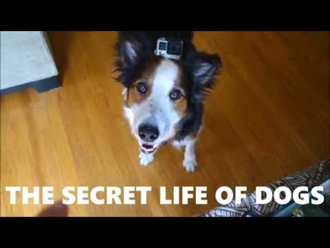 THE SECRET LIFE OF DOGS - funny border collie point of view