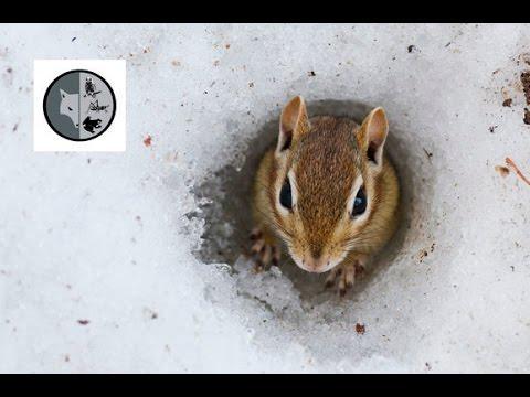 Eastern Chipmunk comes out of hibernation