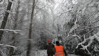 Охота на кабана с лайками в Вологодской области