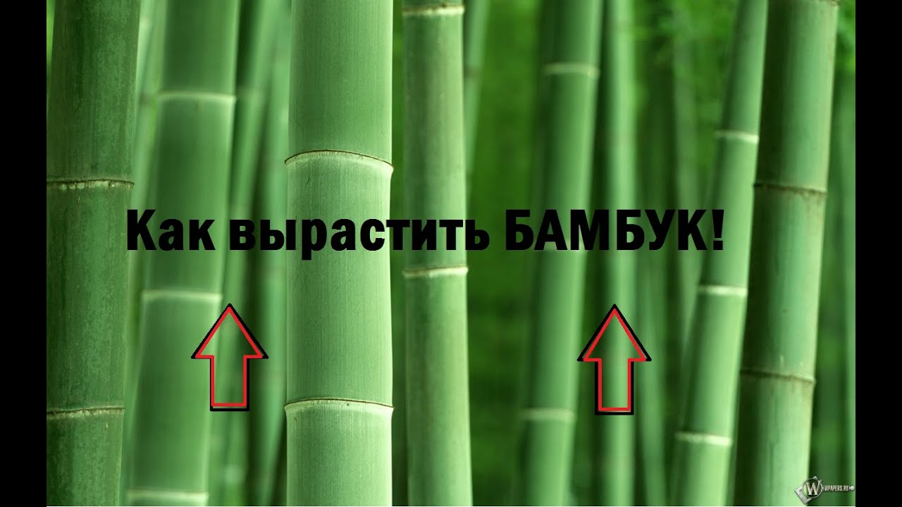 Бамбук (драцена счастливый бамбук) с бесплатной доставкой по спб и россии. Заказывайте доставку цветов и букетов в интернет-магазине.