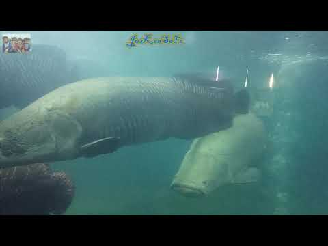 ikan-raksasa-dari-amazon-arapaima-gigas-pirarucu-|-wahana-wisata-akuarium-raksasa-di-purbalingga