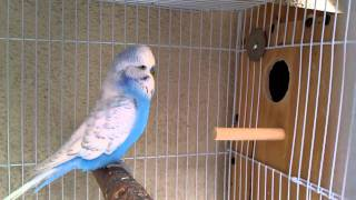 Repeat youtube video English Budgie Breeding Pair 3