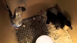 I Got Chicks & Ducks!