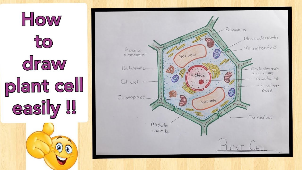How to draw Plant Cell diagram || Plant cell ko easily ...