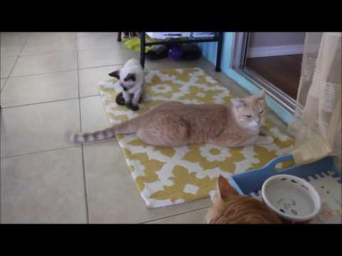 Kitten playing with Tolerant Cat's Tail
