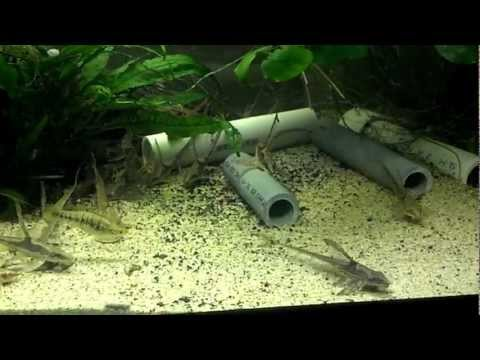 Farlowella acus (Kner, 1853) -HD- twig catfish - Aquarium Porte Dorée Paris - 05/2015 from YouTube · Duration:  2 minutes 50 seconds  · 2,000+ views · uploaded on 5/25/2015 · uploaded by France-animaux