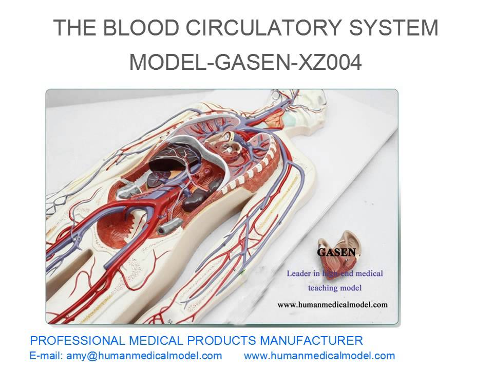 PULMONARY CIRCULATION CARDIOVASCULAR MEDICAL THE BLOOD CIRCULATORY ...