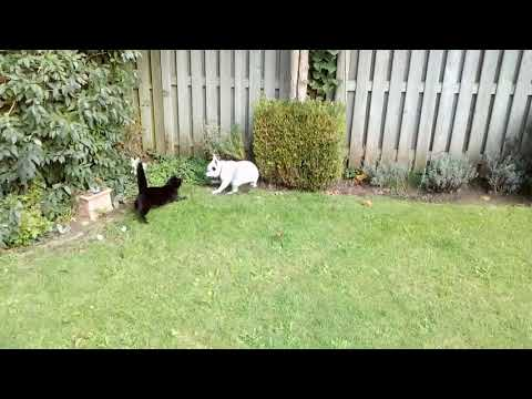 Cat vs dog , french bulldog vs cat