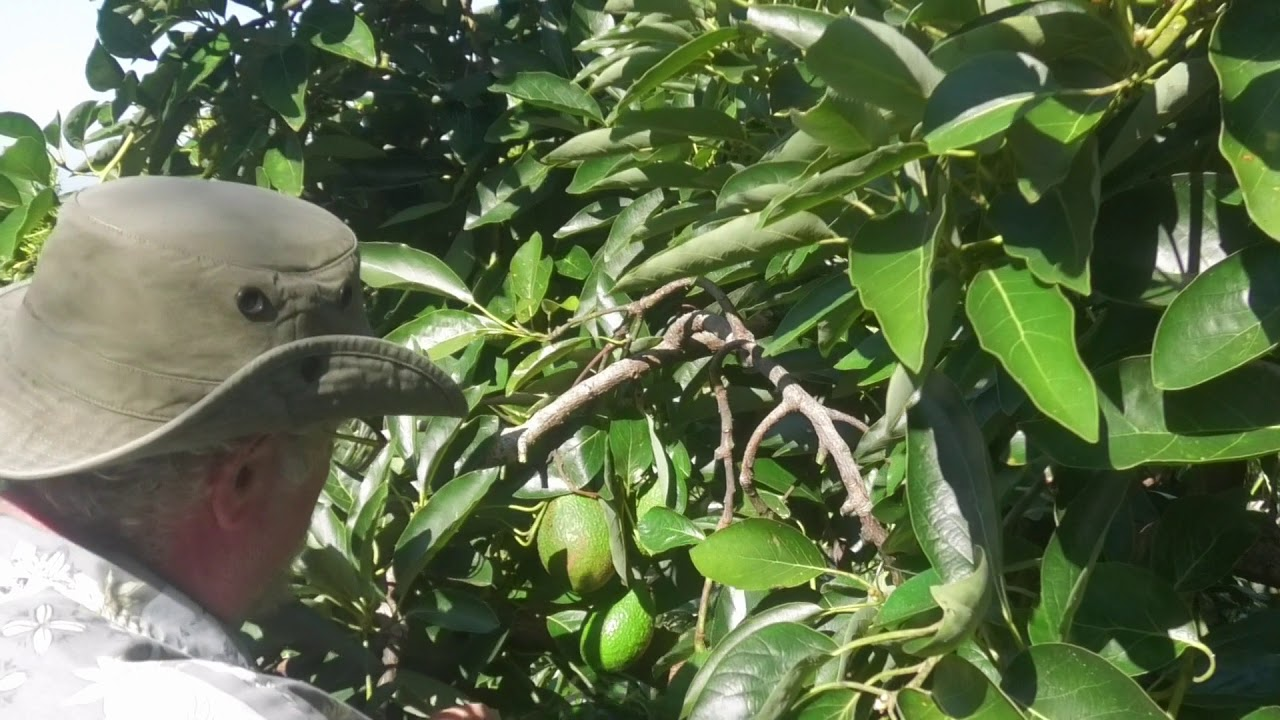 How to Prune Avocado Trees for Easy Harvesting