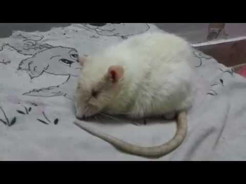 Rat Meditation