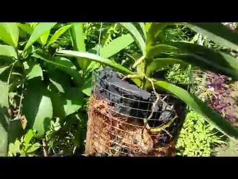 Repotting Vanda Mokara on Wire Hanging Planter / Basket