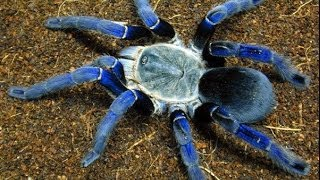 Repeat youtube video Top 10 Most Venomous Spiders